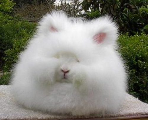 Satin Angora Rabbits