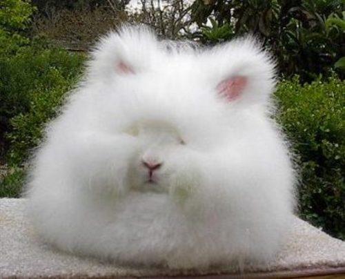 7 giant angora bunny rabbits in dover delaware rabbits for sale